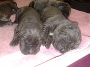 bandog, puppies, australian, mastiff, neopolitan, bandogge, puppy, aussie, neo
