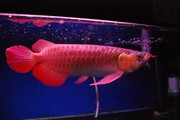 good arowana for sale