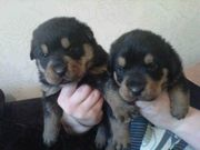 TRADITIONAL ROTTWEILER PUPPYS 3 BOYS AND 2 GIRLS LEFT READY 10/04/12