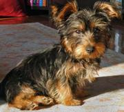 Charming Yyorkie puppies for  adoption