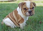 cute and adorable bulldog puppy for adoption