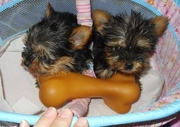 Sweet female and male puppies for a rehome