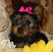Lovely Male And Female Teacup Yorkie Puppies For Adoption!!
