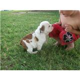 Cute and Adorable English Bulldog Puppies For Re-homing.